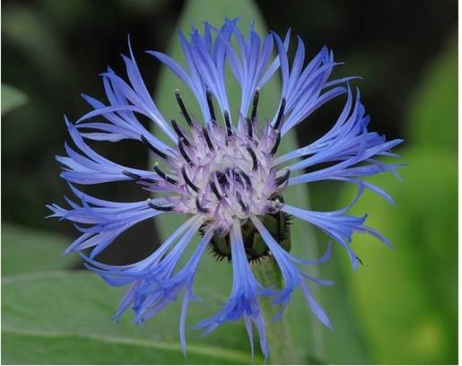 Garden tips june july hawthorn nurseries landscaping ltd perennial cornflower mightylinksfo