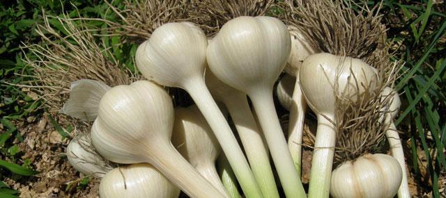 Organic Garden Tips October November – Grow Your Own Garlic