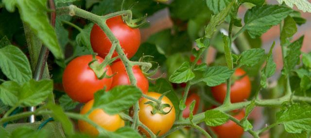 Organic Garden Tips Spring – Summer Fruits