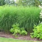 Miscanthus grasses