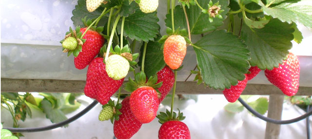 Organic Garden Tips September – Strawberries