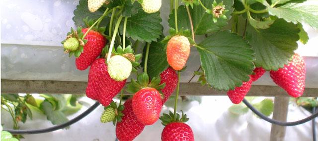 Organic Garden Tips September – Strawberries
