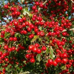 Hawthorn in Berry